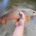 Catostomidae - Photo (c) Megan Brejcha, todos los derechos reservados