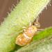 Pissonotus delicatus - Photo (c) DinGo OcTavious, todos los derechos reservados