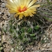 Grooved Nipple Cactus - Photo (c) nickscott, all rights reserved