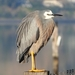 Common White-faced Heron - Photo (c) Paddy Kemner, some rights reserved (CC BY-NC)