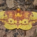 Imperial Moth - Photo (c) Andy Reago & Chrissy McClarren, some rights reserved (CC BY)
