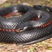 Red-bellied Black Snake - Photo (c) Tyler Monachino, all rights reserved