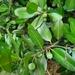 Calophyllum antillanum - Photo (c) Troy Alexander, todos los derechos reservados