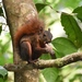 Red-tailed Squirrel - Photo (c) lukeberg, all rights reserved