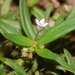Old World Diamond Flower - Photo (c) Barry Hammel, some rights reserved (CC BY-NC-SA)