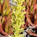 Platanthera michaelii - Photo (c) Bill Hubick, todos los derechos reservados