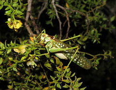 Capnobotes arizonensis image