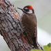 Arizona Woodpecker - Photo (c) Irv, all rights reserved