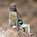 Greater Earless Lizard - Photo (c) AlecHenderson, all rights reserved