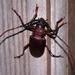 Dorysthenes granulosus - Photo (c) Mark Wright, כל הזכויות שמורות