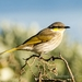 Singing Honeyeater - Photo (c) andrew_mc, all rights reserved