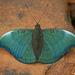 Euthalia evelina - Photo (c) Prasanna Parab, todos los derechos reservados