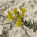 Linaria cretacea - Photo (c) Max Parkhomenko, all rights reserved