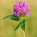 Red Clover - Photo (c) Ivar Leidus, some rights reserved (CC BY-SA)