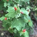 Turk's Cap - Photo (c) Malorie Harrod, all rights reserved