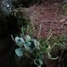 Peperomia pseudoalpina - Photo (c) J Esteban Jiménez, todos los derechos reservados