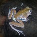 Limnomedusa macroglossa - Photo (c) ademir, כל הזכויות שמורות, uploaded by Ademir Jeronimo