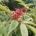 Saúco Rojo - Photo (c) Sonja K, todos los derechos reservados