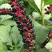 Indian Pokeweed - Photo (c) Александр Радзюк, all rights reserved