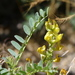 Astragalus douglasii - Photo (c) Jay Keller, todos los derechos reservados, uploaded by Jay L. Keller