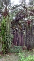 Elaeis guineensis image
