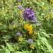 Melampyrum catalaunicum - Photo (c) mercantour, all rights reserved