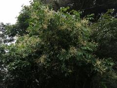 Turpinia occidentalis image