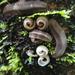Platydesmidae - Photo (c) MaLisa Spring, כל הזכויות שמורות