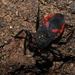 Micrauchenus lineola - Photo (c) Nicki Cagle, todos los derechos reservados