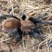 Bonnetina tanzeri - Photo (c) arachnida, all rights reserved