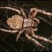 Parawixia audax - Photo (c) RAP, all rights reserved