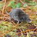 Long-tailed Shrews - Photo (c) Rufino Sandoval Garcia, all rights reserved