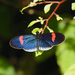 Heliconius melpomene cythera - Photo (c) Paul, todos los derechos reservados, uploaded by creaturesnapper