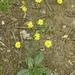 Hieracium venosum - Photo (c) fm5050, todos los derechos reservados