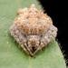 Eriovixia laglaizei - Photo (c) roythedivebro, todos los derechos reservados