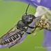 Megachile campanulae - Photo (c) cgpalahniuk, todos los derechos reservados