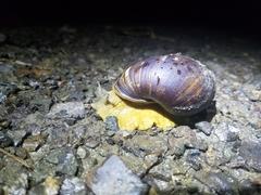 Plekocheilus castaneus image
