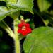Kohleria anisophylla - Photo (c) Eerika Schulz, todos los derechos reservados