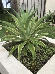 Agave angustifolia image