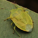 Green Stink Bugs - Photo (c) Pablo Nuñez Fuentes, all rights reserved