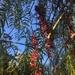 Pirul - Photo (c) Autumn Randolph, todos los derechos reservados