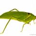 Lamprophyllum - Photo (c) Stéphane De Greef, todos los derechos reservados