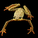 Atelopus balios - Photo (c) Arca de los Sapos, all rights reserved, uploaded by Centro Jambatu