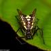 Araña Forma de Flecha de Seis Puntas - Photo (c) Hubert Szczygieł, todos los derechos reservados