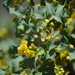 Berberis higginsiae - Photo (c) C. Meling, all rights reserved