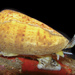 Cone Snails - Photo (c) Renee Els, all rights reserved