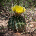 Miniature Barrel Cactus - Photo (c) Jason Penney, all rights reserved