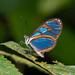 Ithomia diasia morena - Photo (c) Eerika Schulz, όλα τα δικαιώματα διατηρούνται
