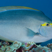 Yellowmask Surgeonfish - Photo (c) David R, all rights reserved