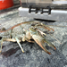 Southern Plains Crayfish - Photo (c) Ben Labay, all rights reserved